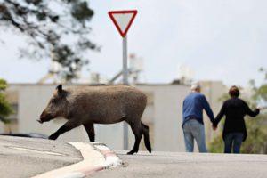 wild-boar-israel